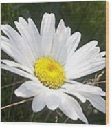 Close Up Of A Margarite Daisy Flower Wood Print