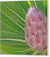 Close Up Of A Protea In Bud Wood Print