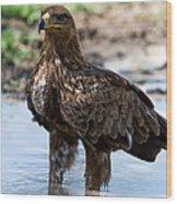Close-up Of A Tawny Eagle Aquila Rapax Wood Print