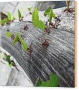 Close-Up Of Ants Carrying Leaves Wood Print