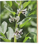 Close Up Of Fava Bean Blossoms Wood Print