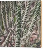 Close Up Of Long Cactus With Long Thorns  Wood Print