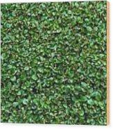 Close-up Privet Hedge Wood Print