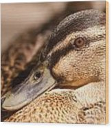 Close Up Shot Of Female Mallard Duck Wood Print