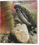 Close Up Underwater View Of Sockeye Red Wood Print