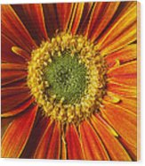 Close Up Yellow Orange Mum Wood Print