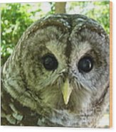 Closeup Of A Barred Owl Wood Print
