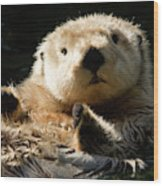 Closeup Of A Captive Sea Otter Making Wood Print