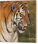 Closeup Portrait Of A Siberian Tiger  Wood Print