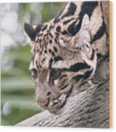 Clouded Leopard Cub Wood Print