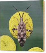 Clouded Plant Bug On Tansy Wood Print