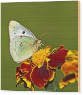 Clouded Sulphur Butterfly Wood Print