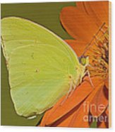 Cloudless Sulphur Butterfly Wood Print