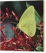 Cloudless Sulphur Butterfly Wood Print