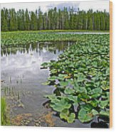 Clouds Among The Lily Pads In Swan Lake In Grand Teton National Park-wyoming  Wood Print