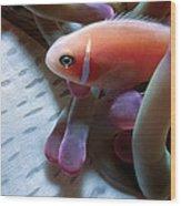Clownfish 17 Wood Print