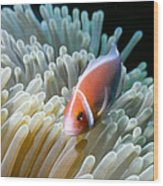 Clownfish 9 Wood Print by Dawn Eshelman