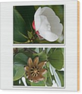 Clusia Rosea - Clusia Major - Autograph Tree - Maui Hawaii Wood Print by Sharon Mau