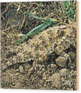 Coast Horned Lizard Wood Print