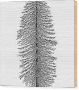 Coastal Redwood Wood Print