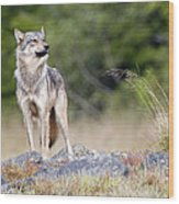 Coastal Wolf Wood Print