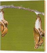 Cocooned Gulf Fritillary Butterflies Wood Print
