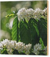 Coffee Coffea Arabia Blossoms, Kona Wood Print