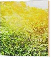 Coffee Plantation Sunny Background Wood Print