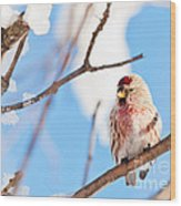 Cold Redpoll Wood Print