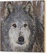 Cold Stare Wood Print