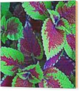 Coleus Color Wood Print