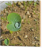 Colocasia Antiquorum Seedling And Water Droplet Wood Print