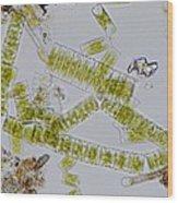 Colonial Freshwater Diatoms Wood Print