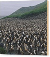Colony Of Royal Penguin Eudyptes Wood Print