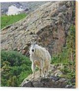 Colorado Mountain Goat Wood Print