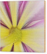Colorful Clematis Wood Print