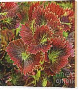 Colorful Coleus Wood Print