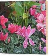 Colorful Cyclamen Wood Print