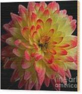 Colorful Dahlia Wood Print