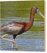 Colorful Glossy Ibis Wood Print