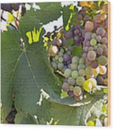 Colorful Grapes Growing On Grapevine Wood Print