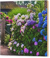 Colorful Hydrangea At The Gate. Giethoorn. Netherlands Wood Print