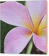 Colorful Pink Plumeria Flower Wood Print