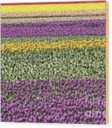 colorful tulips in Holland Wood Print