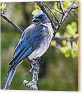 Colors Of Nature - Bluebird 002 Wood Print