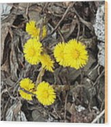 Coltsfoot Wood Print