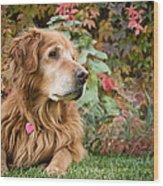 Comanche Autumn - Golden Retriever - Casper Wyoming Wood Print