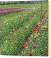 Come See Tulips  Wood Print