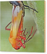 Coming Of Age - Large Milkweed Bug - Oncopeltus Fasciatus Wood Print