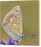 Common Blue Wood Print